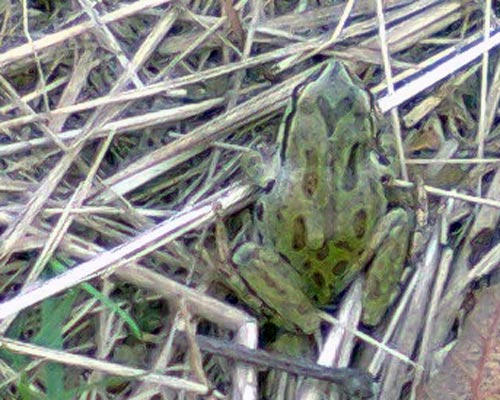 Frog in the grass